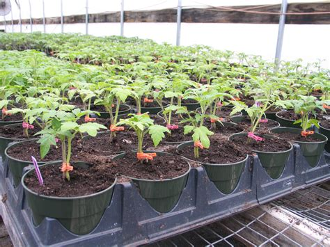 tomatoes  growing  vermont greenhouses uvm food