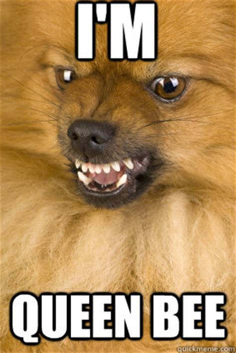 angry pomeranian angry pomeranian bee humor hound my gizmo my lil of fur