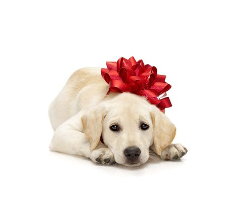 christmas golden retriever puppies