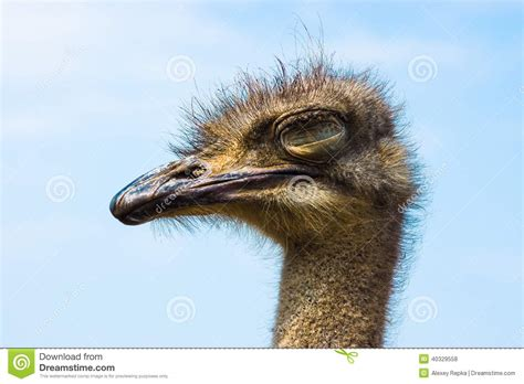 Ostrich Sleeper by Ostrich Stock Photo Image 40329558