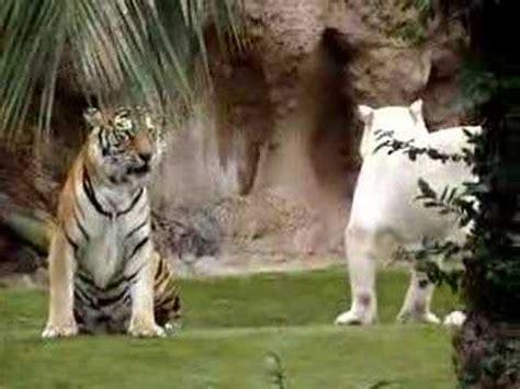 imagenes de leones y tigres peleando tigre de bengala albino peleando youtube