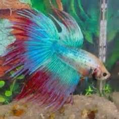 Betta Fish on Pinterest   Betta Fish, Betta and Siamese Fighting Fish