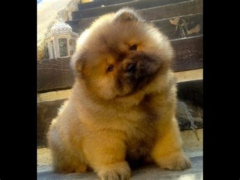 chow chow puppies dogs  sale  albany county