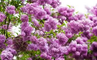 lilac 10 beautiful hd lilac wallpapers hdwallsource com