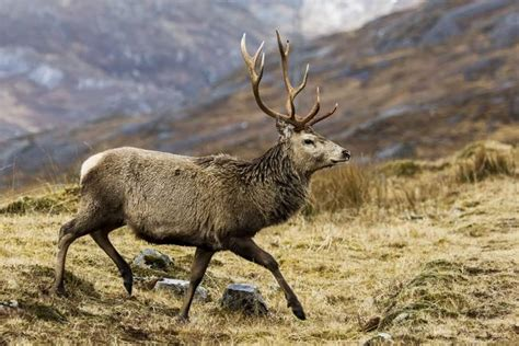 what is the fine for running a red light stunning quot red deer stag quot artwork for sale on fine art prints