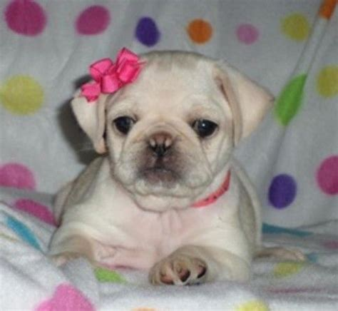 how to take care of pug baby 1000 images about adorable on baby pugs pug and pug puppies