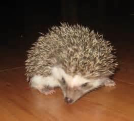 care for pet hedgehogs