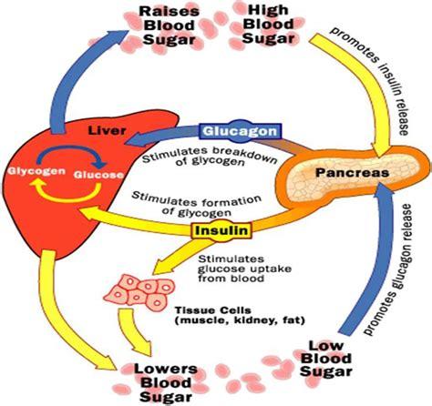 system sugar 51 best health endocrine system images on pinterest