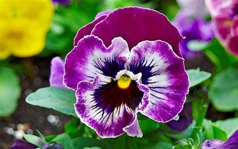 fiore viola pensiero viola pensiero piante da giardino coltivazione