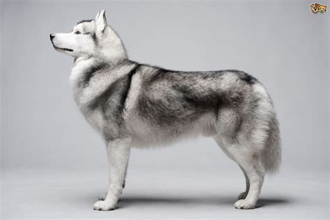 siberian husky dog breed facts highlights buying