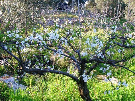 fiori di pruno albero di pruno foto immagini piante fiori e funghi