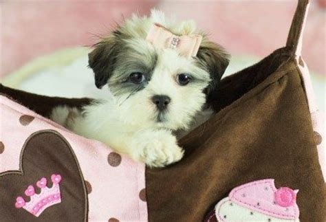 shih tzu breeders miami miniature miami and toys on