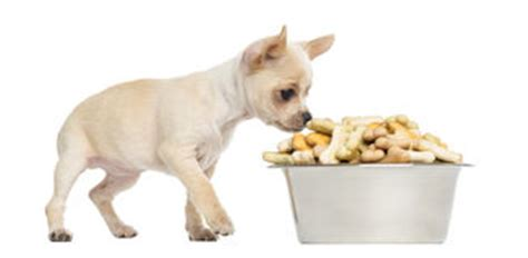 chihuahua dog eating food from a bowl royalty free stock a cute chihuahua eating out of a bowl royalty free stock