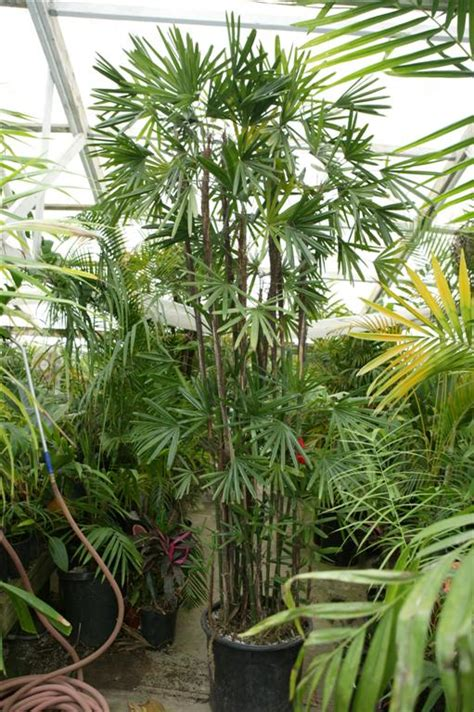 tall house plants best tall indoor house plants