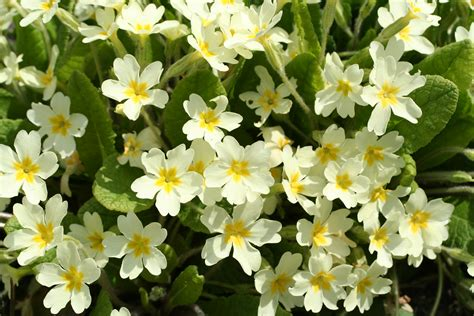 file primula vulgaris 01 xndr jpg wikimedia commons