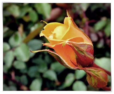 imagenes rosas movibles imagenes de rosas movibles dibujo imagenes