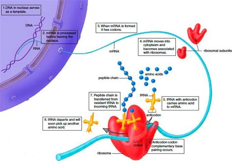 protein synthesis steps protein synthesis events during the mitotic stage
