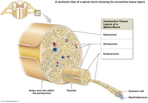 nerve cell diagram diseases of the peripheral nerves emedmd