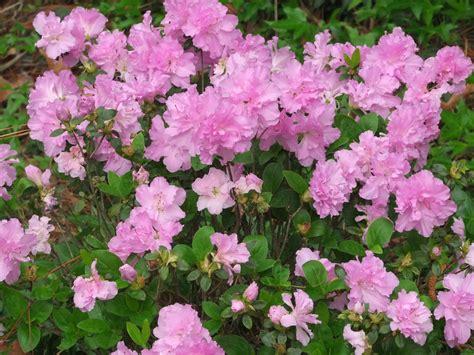 spring blooming shrubs in my garden in north carolina