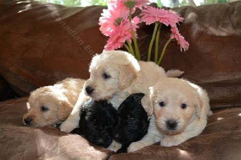 goldendoodle puppy week by week 4 week f1 goldendoodle puppies for sale