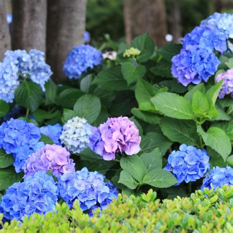 how to change the color of hydrangeas popsugar home