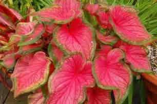Buku Menanam Merawat Keladi Hias cara mudah menanam dan merawat tanaman keladi hias