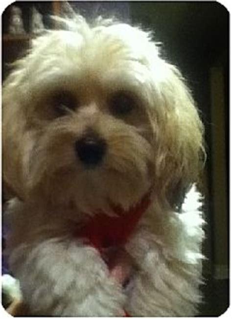 shih tzu maltese mix rescue jasper pending adopted puppy mississauga on maltese shih tzu mix