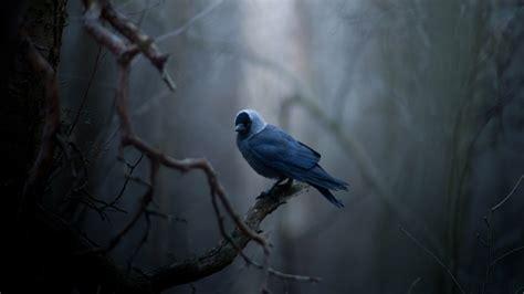 wallpaper dark bird nature bird lonely blue feather black beak tree branches