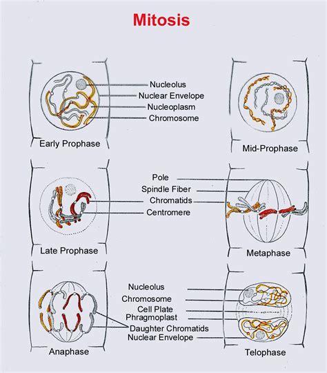 2n 6 meiosis diagram image gallery diploid 2n