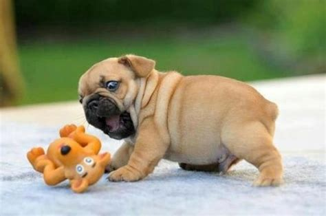 pudgy puppy attack in