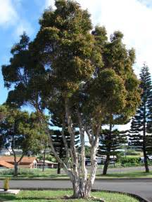 Landscaping Ideas Front Yard Australia - melaleuca quinquenervia cajeput tree wn landscape pinterest melaleuca trees and search