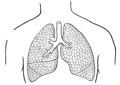 coloring pages of heart and lungs free coloring pages of human lungs