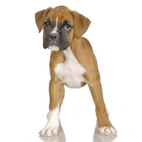 boxer names boxer names unique and boxer names breeds picture