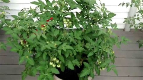 Bonnie Plants Husky Cherry,Tami G Grapes & Yellow Pear or