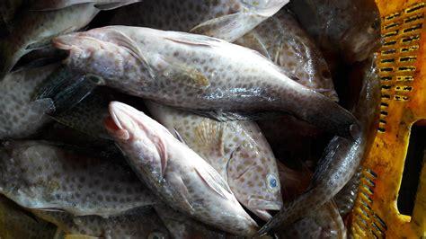 Bibit Ikan Kerapu Bebek jual ikan kerapu harga murah jakarta oleh cv karunia