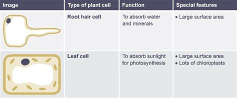 table comparing function  features  root hair cell