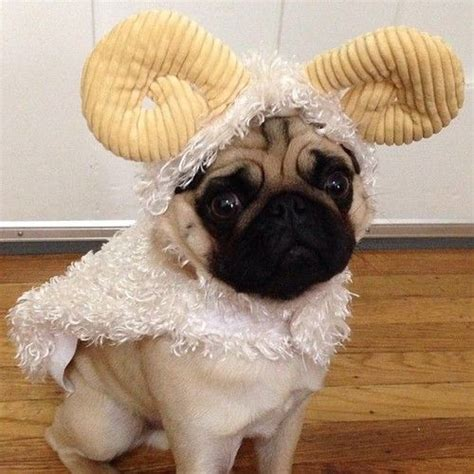 pug sheep 67 best images about pugs in costumes on
