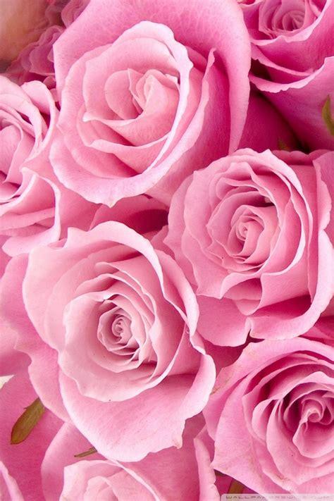 pink roses close   hd desktop wallpaper   ultra
