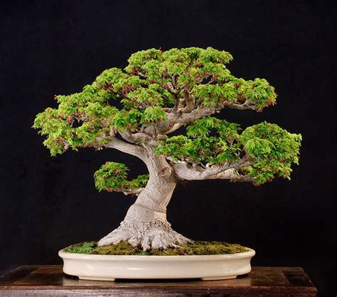 here s a thought bonsai two maple bonsai looking of today bonsai bark