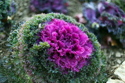 ornamental cabbage annual or perennial this plants common name is ornamental cabbage what