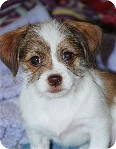 shih tzu puppies reno peanut adopted puppy reno nv terrier unknown type small shih tzu mix