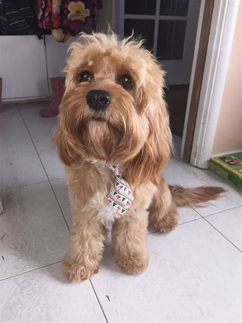 cavapoo puppies for sale best 25 cavapoo puppies for sale ideas on