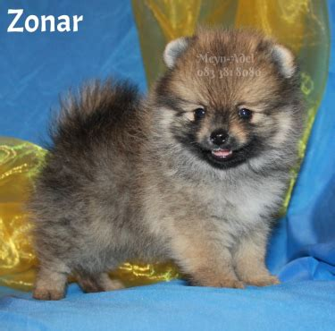 pomeranian puppies for sale in gauteng small pomeranian pom puppies for sale junk mail
