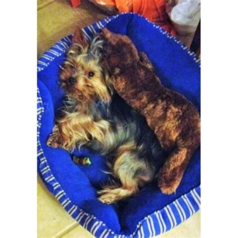 rottweiler puppies for sale in norfolk va terrier yorkie studs in louisiana freedoglistings usa