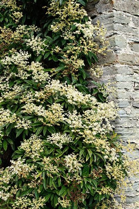 climbing plants for shady areas plants for shade climbing hydrangea and gardens on