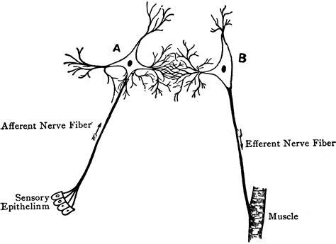 diagram of the reflex arc reflex arc diagram clipart etc