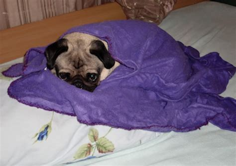 pug in blanket a primer for flying with pugs how to travel with pets