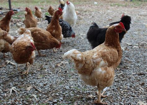 raise chickens in backyard raising chickens in your backyard is easier than you think