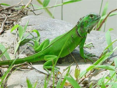 Imagenes De Iguanas Blancas | enfermedades m 225 s comunes de la iguana
