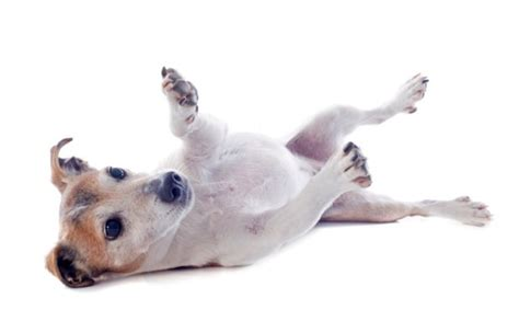 why do dogs kick their back legs why do dogs kick when you scratch their belly